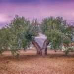 apadrina un olivo contra la huella de carbono y crea empleo